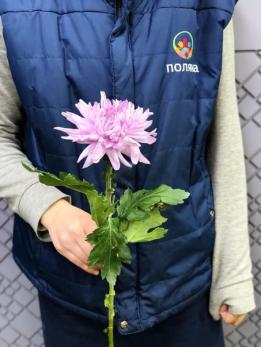 Хризантема Розовая Одноголовая