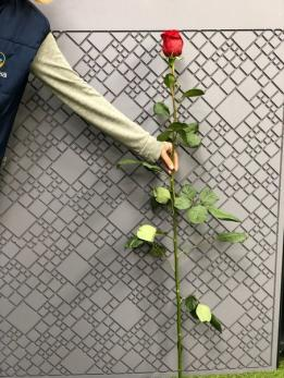 Розая Красная 1м от 25шт Эквадор